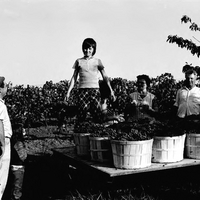 Grape harvest 1