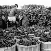 Grape harvest 2