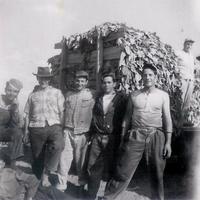#131 1-5 1957 09 Delhi Tobacco harvest - Ribeiro.jpg